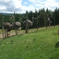 Three baby ostrich with their family at the Marshall\'s Animal Park
